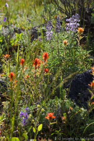 Flowers on the Pacific Crest Trail in the Soda Mountain Wilderness
