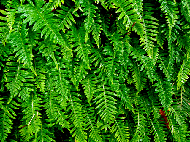 oregon green ferns - photo #1
