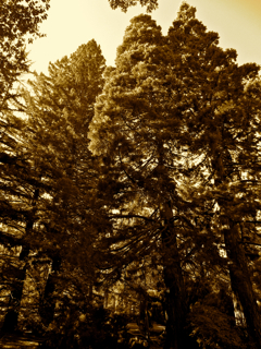 Redwoods and Giant Sequoia'si n Lithia Park